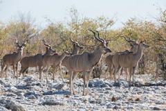 Kudu antelope group Royalty Free Stock Images