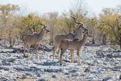 Kudu antelope group Stock Image