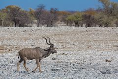 Kudu antelope group Stock Photography