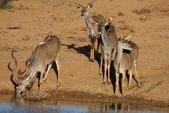 Kudu Antelope Group at Waterhole Stock Image