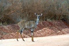 Kudu antelope in Kenya Stock Photography