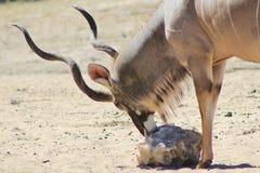 Kudu Antelope - Licking Salt Rock in Africa Royalty Free Stock Photography