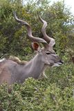Kudu Antelope Male Royalty Free Stock Photography