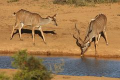 Kudu Antelope Pair Stock Photos