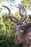Kudu Antelope Portrait Royalty Free Stock Image
