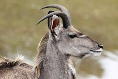 Kudu Antelope Profile Royalty Free Stock Images
