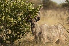 Kudu Stock Photography