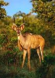 Kudu Royalty Free Stock Image