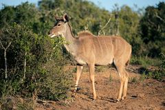 Kudu antelope, South Africa Royalty Free Stock Photos