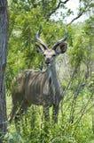 Kudu Antelope (Tragelaphus strepsiceros) Stock Photo