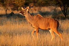 Kudu antelope Royalty Free Stock Photos