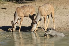 Kudu Antelope and a Warthog - African Wildlife - Cow Stare Stock Photography