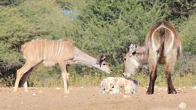 Kudu Antelope and a Waterbuck - African Wildlife - Sharing Salt Royalty Free Stock Image