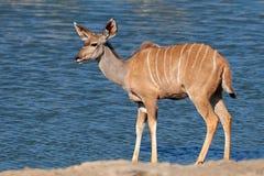Kudu antelope at a waterhole Royalty Free Stock Photos