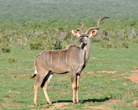Kudu Antelope wild in South Africa Royalty Free Stock Image
