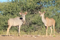 Kudu Antelope - Wildlife from Africa - Alert and A Stock Photography