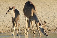 Kudu Antelope - Wildlife from Africa - Motherly Pride Royalty Free Stock Photo
