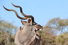 Kudu Antelope - Wildlife from Africa - Pride and Horns Stock Images
