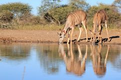 Kudu Antelope - Wildlife from Africa - Reflections Royalty Free Stock Images