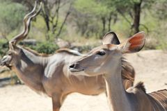 Kudu Antelope - Wildlife from Africa - Sex difference Stock Image