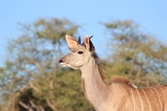 Kudu Antelope - Wildlife from Africa - Young Life Stock Photo