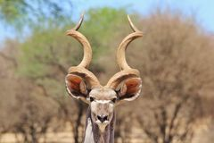 Kudu Antelope - Wildlife Background from Africa - Curiousity. A magnificent Greater Kudu bull stares into the lens, as seen in the wilds of Africa Royalty Free Stock Images