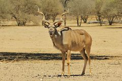 Kudu Antelope - Wildlife Background from Africa - Open Mouth of Awe for Funny Nature Royalty Free Stock Photo