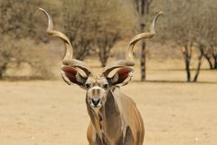 Kudu Antelope - Wildlife Background from Africa - Spiral Stare Stock Images