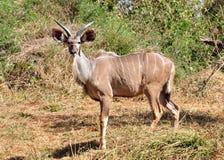 Kudu Antelope Stock Image