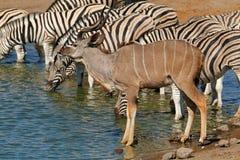 Kudu antelope and zebras at a waterhole Stock Photos