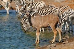 Kudu antelope and zebras at a waterhole Stock Photography
