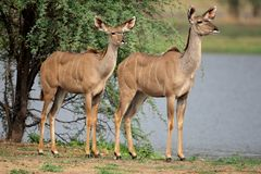 Kudu antelopes Royalty Free Stock Photography