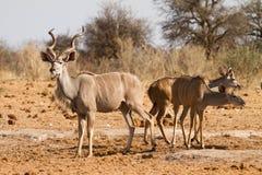 Kudu antelopes. Greater Kudu antelopes, safari Etosha, Namibia Africa Stock Image