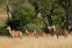 Kudu antelopes Stock Photo