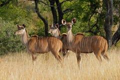 Kudu antelopes Royalty Free Stock Photography