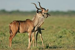 Kudu antelopes Royalty Free Stock Photo