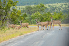 Kudu antelopes crossing road in Kruger national park Stock Photography