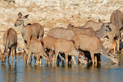 Kudu antelopes drinking Stock Photos