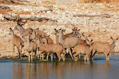 Kudu antelopes drinking stock images