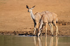 Kudu antelopes drinking Stock Image