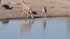 Kudu antelopes drinking water stock video