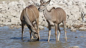 Kudu antelopes drinking water stock footage