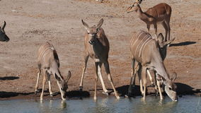 Kudu antelopes drinking water stock video footage
