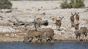 Kudu antelopes drinking water stock video