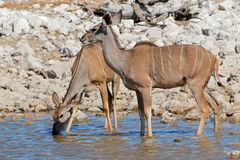 Kudu antelopes drinking water Stock Photos