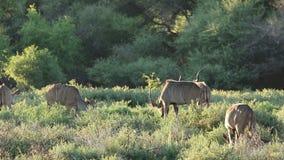 Kudu antelopes feeding stock video footage