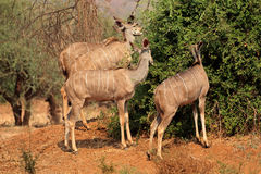 Kudu antelopes feeding Royalty Free Stock Image