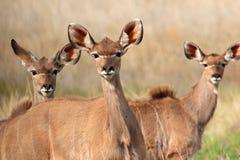 Kudu antelopes Stock Photos