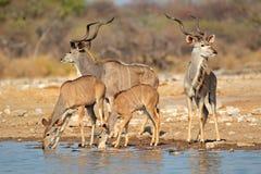 Kudu antelopes at a waterhole stock photo
