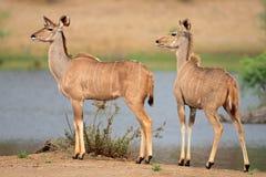 Kudu antelopes stock images